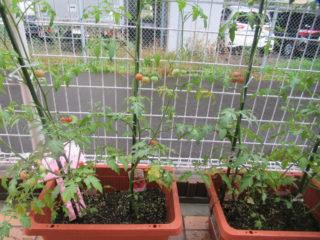 トマトの収穫♡